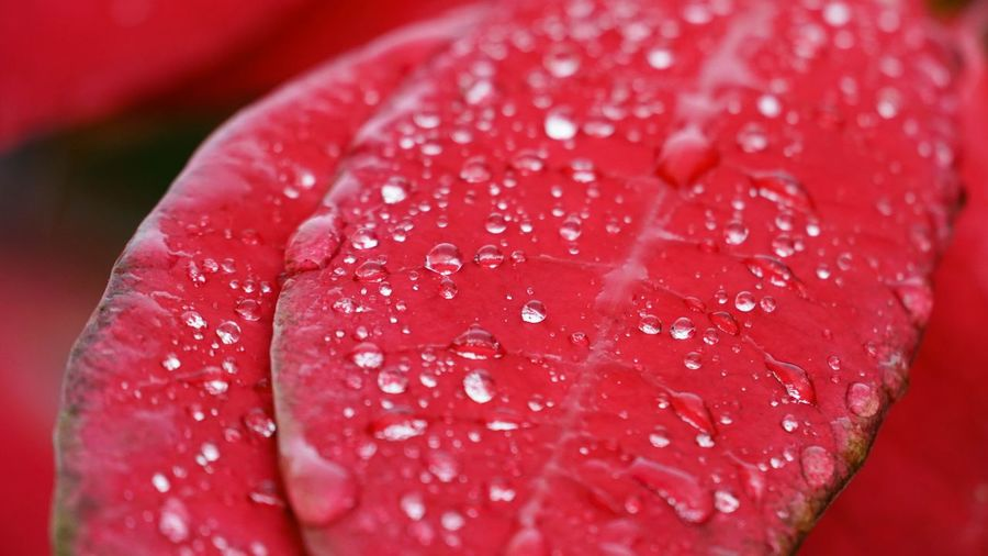 Close-up of water drops on red rose
