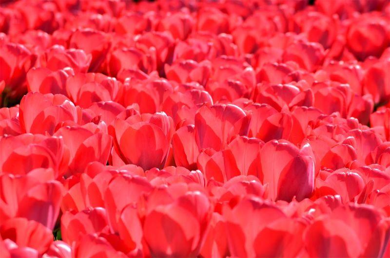 Full frame shot of red rose