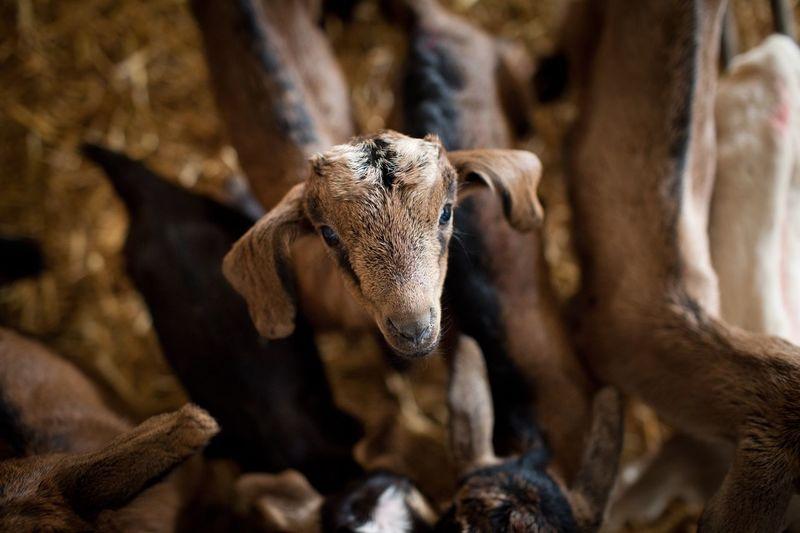 Sweetness Goat Goat Milk Brown