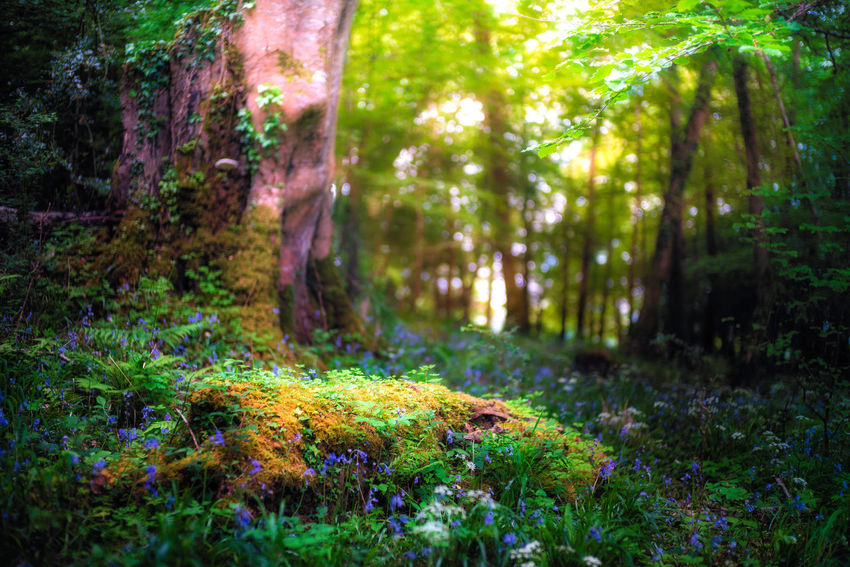 The Enchanted Land Atmosphere Beauty In Nature Bokeh Dreamy Enchanted  Fairy Flower Forest Green Color Ireland Killarney  Landscape Leica Light Lush Foliage Magic Nature Plant Ring Of Kerry Scenics Sunlight And Shadow Tranquility Tree Tree Trunk WoodLand