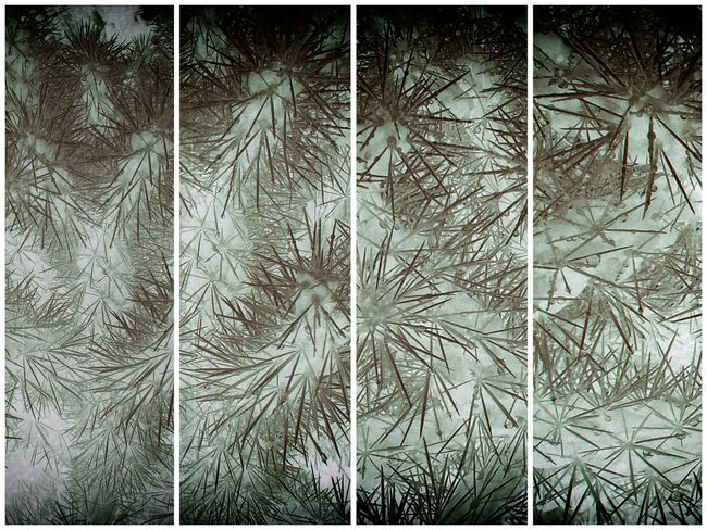 Plant Tree Growth No People Transfer Print Nature Auto Post Production Filter Cold Temperature Day Backgrounds Full Frame Winter Snow Frozen Outdoors Close-up Pattern Leaf Land Coniferous Tree