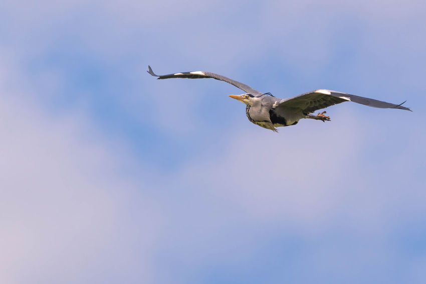 Wingspan, Heron in flight Bird Photography Birdwatching Heron Bird Wildlife & Nature Wildlife Photography Animal Themes Animals In The Wild Bird Birds Birds_collection Flying Flying Bird Flying Heron Heron Large Wingspan Mid-air Motion Nature One Animal Sky Spread Wings Wildlife Wings Wings Spread Wingspan #FREIHEITBERLIN