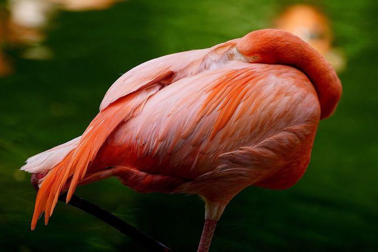 Side View Of A Flamingo Bird