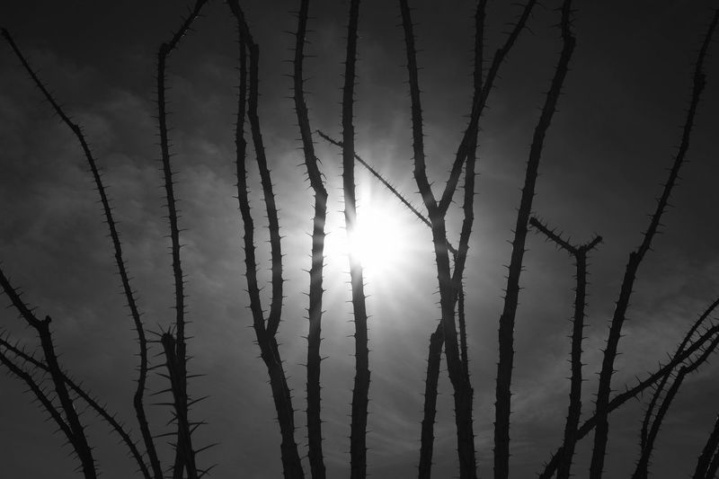 Cactus Beauty In Nature Black And White Blackandwhite Clouds Creepy Day Monochrome Nature No People Ocotillo Outdoors Scenics Sky Spines Sun Thorn