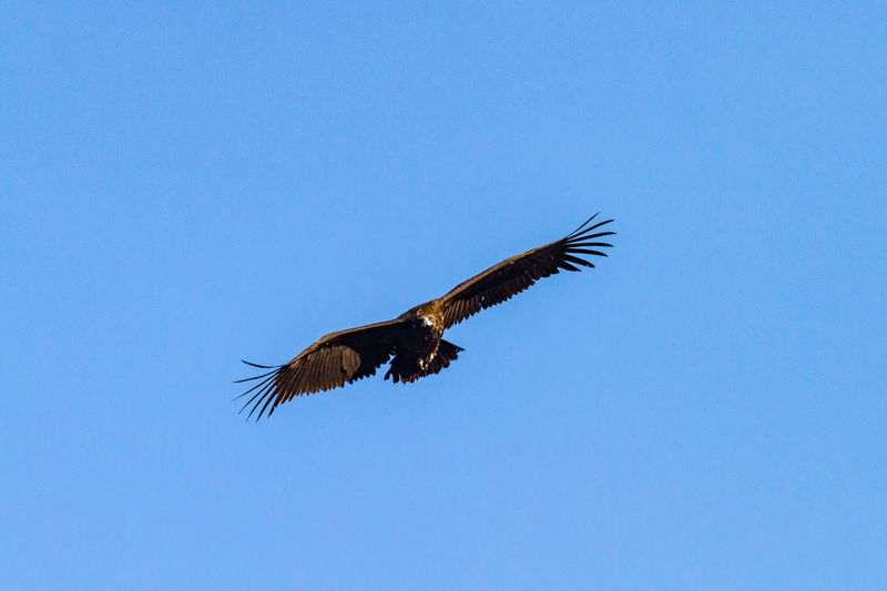 Black vulture in flight Black Vulture Animal Themes Animal Wildlife Animals In The Wild Beauty In Nature Bird Bird Of Prey Blue Clear Sky Copy Space Day Flying Low Angle View Mid-air Monk Vulture Motion Nature No People One Animal Outdoors Sky Spread Wings Vulture