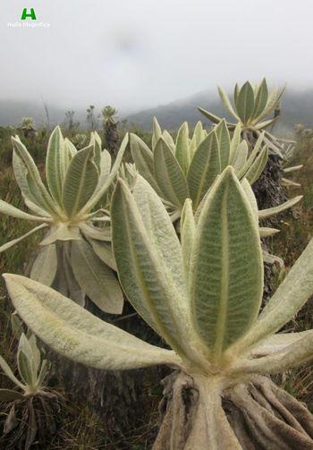 Frailejones en la Laguna del Cusiyaco. Frailejones Nudo De Almaguer Huila  Colombia ♥  Páramo De Las Papas