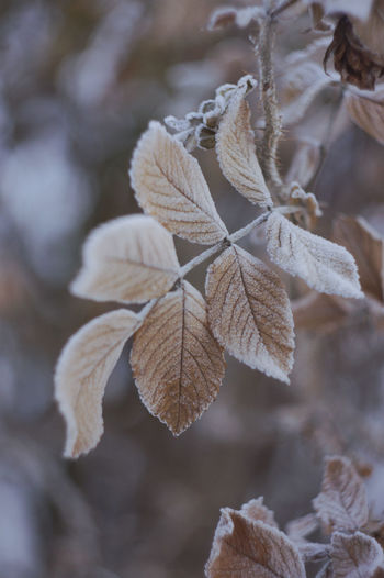 Snow Frost Nature Day Frozen No People Leaves Winter Beauty In Nature Cold Temperature Plant Outdoors Leaf Vein Plant Part Growth