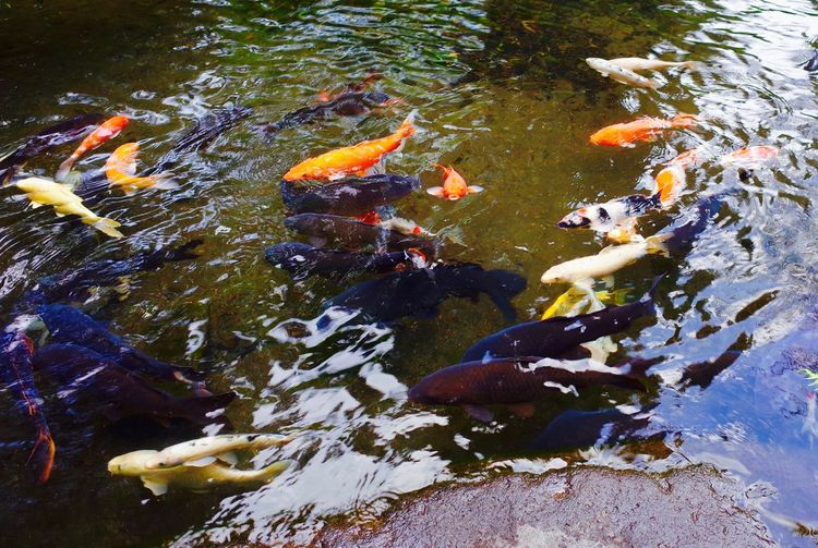 Hakone Japan A Pond Animals In The Wild Black Carp Carp Day Fish Koi Carp Nature No People Orange Carp Outdoors Swimming Water