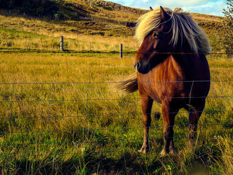 Icelandic horse Beautiful Animals Iceland Exploreiceland Islandia Travelphotography Traveler Travelling Visiticeland Pferd Paard Hest Häst Caballos Hose Caball Equitacion  Horsephotography Horselife Cheval Cavalo équitation Wild Nature Travel Iceland EyeEmNewHere. EyeEmNewHerе Horse First Eyeem Photo