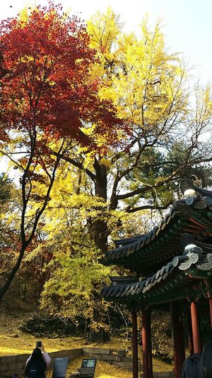 No Filters  Changdeokgung Palace Secret Garden Ginkgo Leaves Ginkgo Tree Autunn Korea Seoul Travel Photography