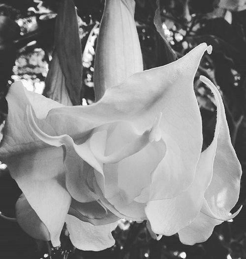 Blackandwhite Datura Flower Tt_rt_bnw Top_bnw Bw_celebes Tv_pointofview_bnw Be_one_bw Flowersandmacro Af_floral Floralwaltz Birds_bees_flowers_n_trees Tt_rt_nature Rebelsunited_nature Rsa_nature Natureromantix Ig_masterpiece Pocket_pretty Hallucinagenic Picturetokeep_flowers