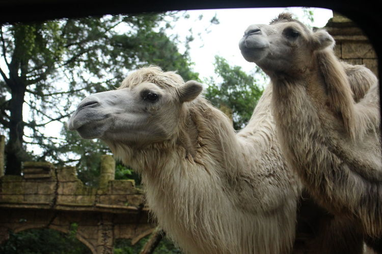 Two Camel