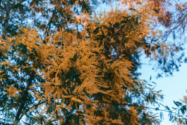 Tree Plant Autumn Beauty In Nature Growth Day No People Branch Nature Change Tranquility Low Angle View Leaf Plant Part Focus On Foreground Outdoors Close-up Sky Winter Cold Temperature Coniferous Tree Pine Tree
