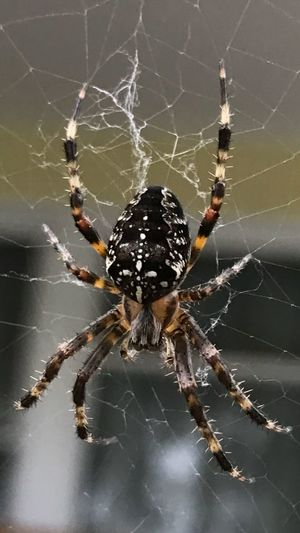 Up close and personal with this scary dude. Spider Spiderweb Close-up Arachnid Arachnophobia Web No People Oregon Iphone7plusphoto