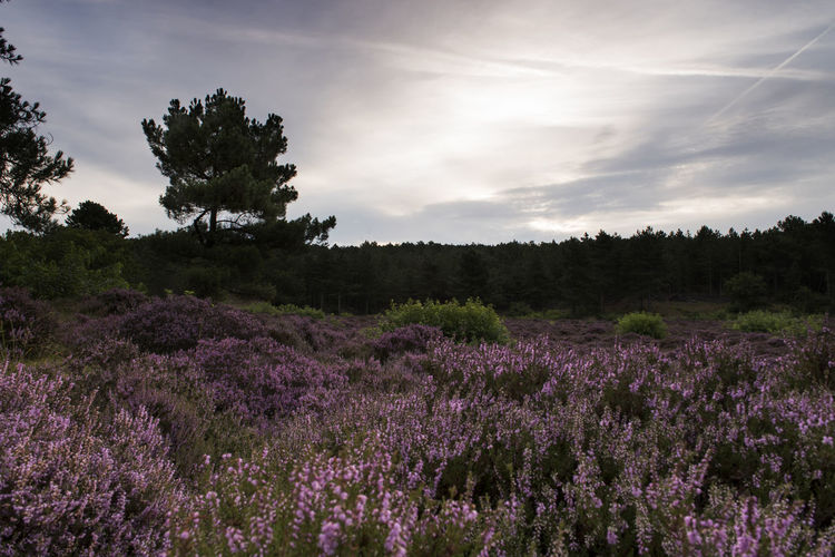 Scenic view of heather flowers blooming in field against sky