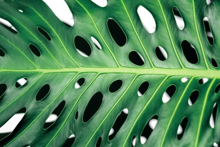 Close-up of Monstera Deliciosa leaf Creative Light and Shadow Green Leaf 🍂 Nature Photography Pattern, Texture, Shape And Form Plant Plants Backgrounds Beauty In Nature Close-up Details Of Nature Full Frame Green Color Hole Leaf Leaf Vein Light And Shadow Monstera Nature Nature_collection No People Outdoors Pattern Plant Part Shape