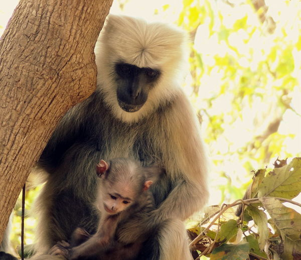 A mother's love Animal Family Animal Themes Animals In The Wild Close-up Day Focus On Foreground Low Angle View Macaque Malephotographerofthemonth Mammal Monkey Motherslove Nature Noon One Animal Portrait Primate Sitting Tree Tree Two Animals Wildlife Wildlife & Nature