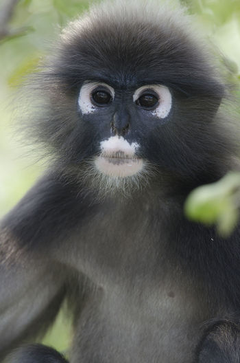Portrait of a dusky leaf monkey in a tree in a vertical image Dusky Leaf Monkey Animal Wildlife Animals In The Wild One Animal Primate Portrait Looking At Camera Nature Outdoors Day Close-up No People Malaysia Monkey Spectacled Langur