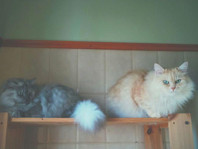 Kitties!! Mycats Catworld