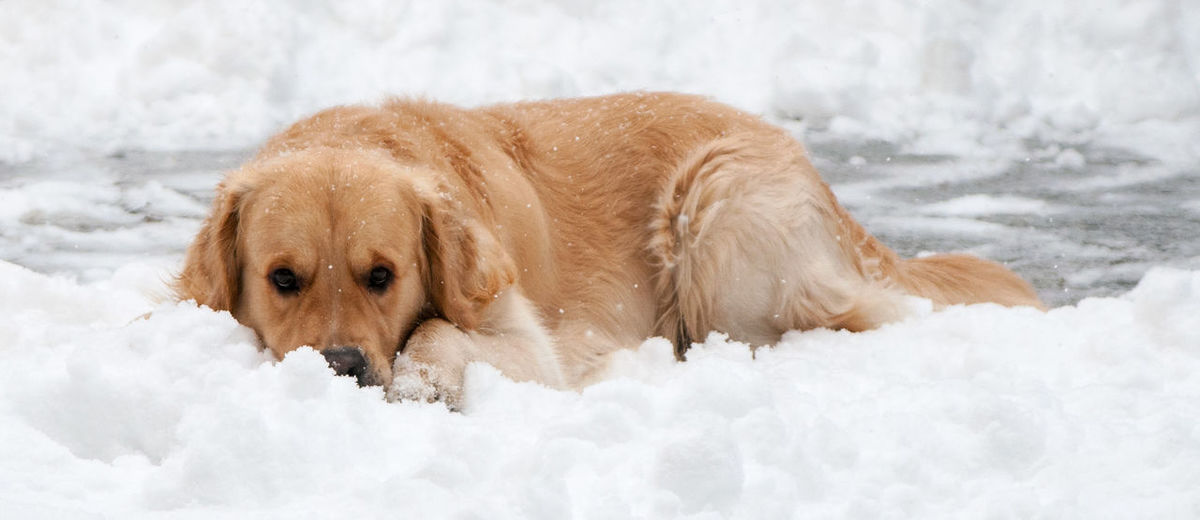 Animal Animal Themes Dog Domestic Animals Golden Retriever Nature Pets Retriever Snow Winter