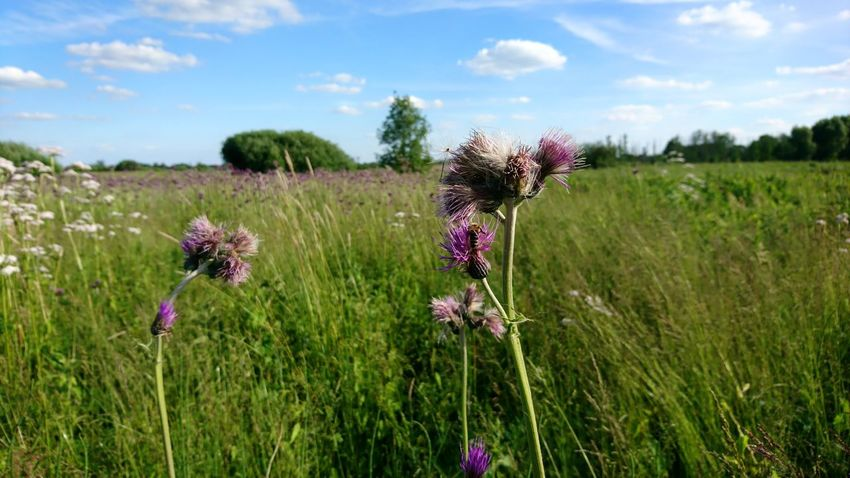 Flower Purple Nature Field Growth Lavender Wildflower Plant Flower Head Beauty In Nature Thistle Fragility Outdoors Uncultivated Cloud - Sky Summer Poppy Rural Scene Grass Flowerbed