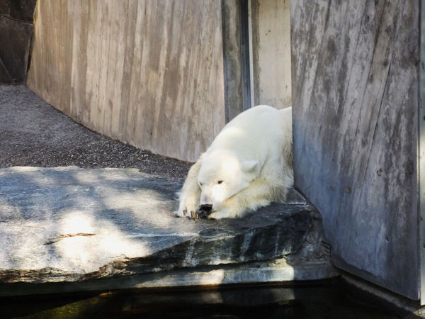 Bears Stuttgart Wilhelma Zoo Animal Themes Animal Wildlife Bears🐻 Close-up Day Germany Ice Bear Mammal Nature No People One Animal Outdoors Summer Water White Color Zoo Animals  Zoology Zoophotography