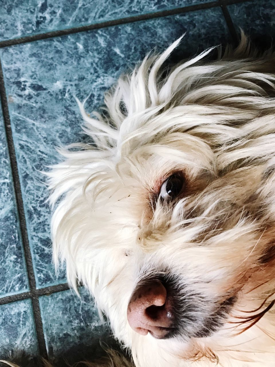 one animal, domestic, mammal, canine, dog, animal themes, domestic animals, animal, pets, hair, vertebrate, animal hair, no people, close-up, portrait, looking at camera, animal body part, high angle view, animal head, indoors, flooring, tiled floor, small