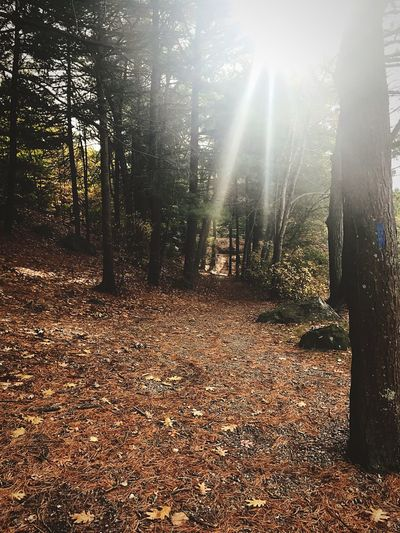 Forest Tranquility Beauty In Nature Sunlight Sunbeam WoodLand Autumn Tree Outdoors
