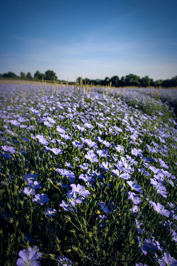 Agriculture Beauty In Nature Blooming Close-up Crocus Day Field Flax Flower Flower Head Focus On Foreground Fragility Freshness Growth Landscape Nature No People Outdoors Plant Purple Rural Scene Scenics Sky Tranquil Scene Tranquility