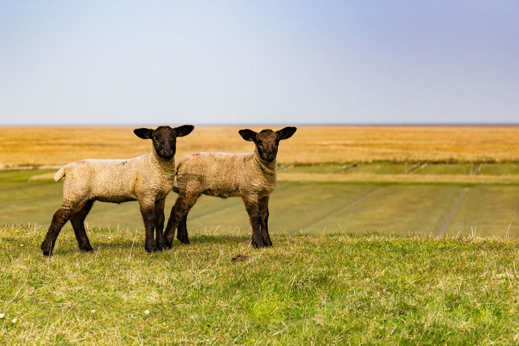 Two Cute Lambs Standing On Green Field