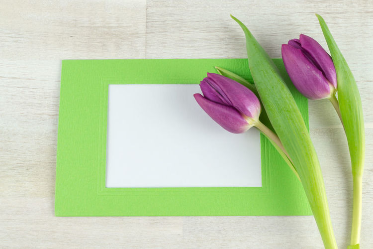 Copy Space Letters Tulips Beauty In Nature Blank Close-up Day Directly Above Flower Flower Head Fragility Freshness Green Color Indoors  Leaf Nature No People Petal Pink Color Studio Shot Table Tulip Ultra Violet Violet White Background