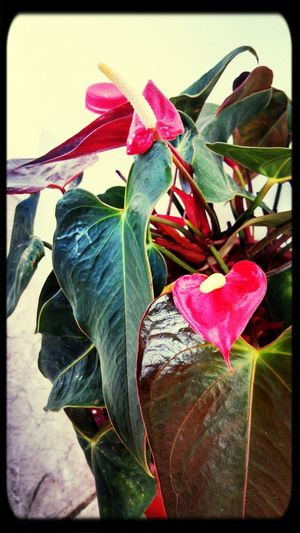 Anturios Rojos My Garden Anthurium Hot Red Love Nature