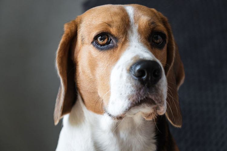 Close-up portrait of a dog of breed beagle, expressive look. muzzle close-up. hanging ears.