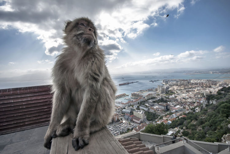 Portrait of a monkey on city against sky