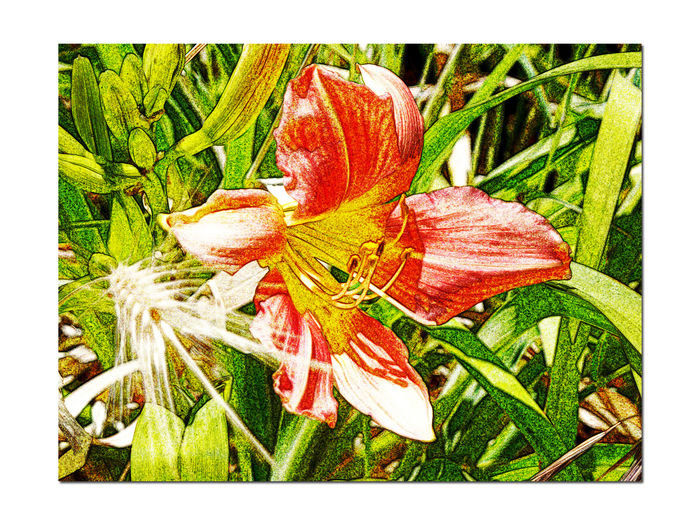 Lilies In The Garden 2 Liliaceae Lilium Flowering Bulbous Plant Fragrant Tall Stems Estate Garden Meeks Mansion Cherryland,Ca. Garden Collection Garden Photography GardenNature Playing With Effects Florescent Chalk Landscape Landscape_photography Landscape_Collection Landscape_lovers