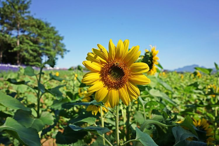 Sunflower, decoration plant and oil plant Flower Flowering Plant Plant Growth Fragility Freshness Flower Head Yellow Beauty In Nature Vulnerability  Inflorescence Petal Plant Part Leaf Close-up Nature Pollen Focus On Foreground Sunflower Day Outdoors No People Nature
