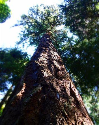 One of the many beautiful ancient trees in the Lighthouse Park in West Vancouver. ----------------------------------------------------------- Tree Savethetrees Raretree Bark LighthousePark Vancouver Westvancouver Westvan Vancity Vancitybuzz Vancityhype Lookingup Naturephotography Nature Trees Oldtree Tree_captures Olympus Takemeback Travel Travelcanada Bobcanada Canada Instatravel Travelgram mytravelgram wanderlust