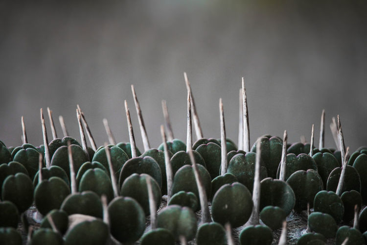 Thorny EyeEm Nature Lover Freshness Macro Photography Plant Plant Part Textured  Textures and Surfaces Tranquility Beauty In Nature Bokeh Close-up Day Forest Forest Photography Growth Macro No People Outdoors Selective Focus Sharp Spiked Spine Succulent Plant Texture Thorn