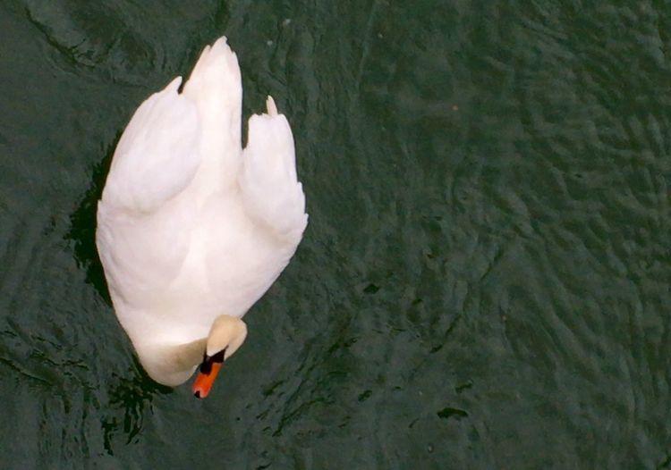 Swans Swan Series Swans ❤ Schwäne Schwan  Swantastic Swan Schwanenfamilie