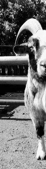Goat No People Animal Themes What You Looking At ?  MonochromePhotography Black And White Not Impressed