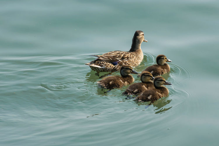 Duck with ducklings swimming in lake