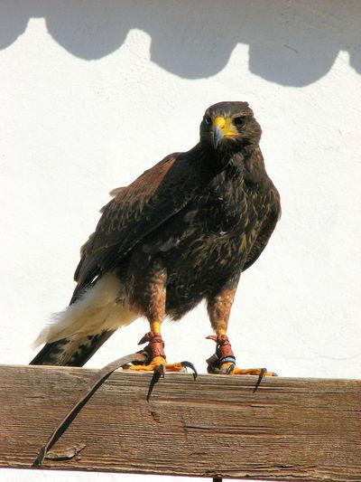 Harris Hawk  Birds Of Prey Raptors Birds Bird Portrait Bird Photography Birds Of EyeEm