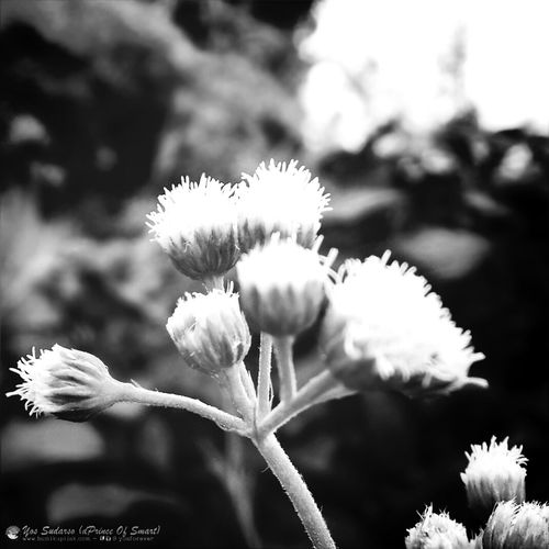 Another beauty inside the wild grass... Real Size 0,5cm by MacroLens. Eye4photography  Flowerporn Blackandwhite Macro_collection for full color in IG: @yosforever