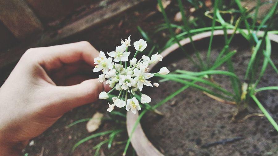 ดอกขึ่นฉ่าย เพิ่งเคยเห็น Good Morning Flowers