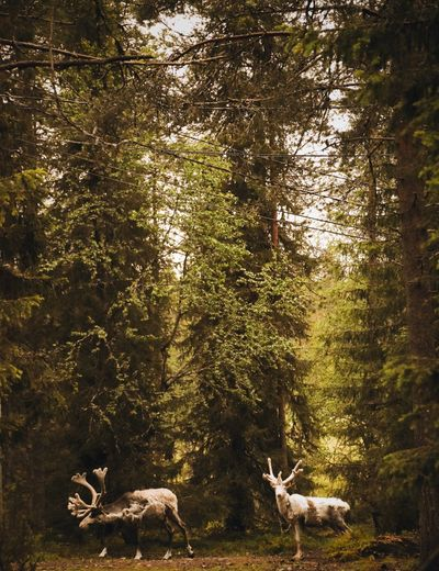 Reindeer in forest against trees