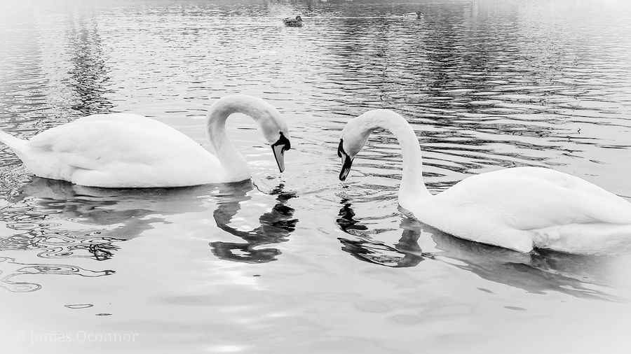 loving Swans.