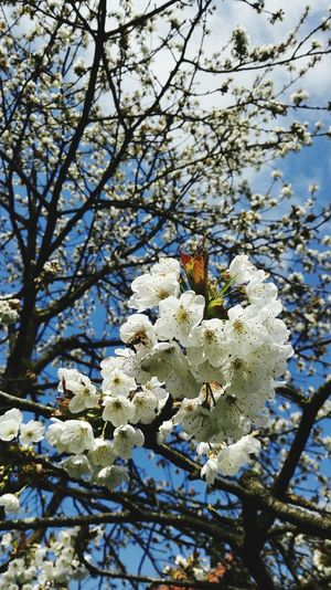 Garden Cherry Tree Flowers,Plants & Garden Sunlight Bee And Flower Bees At Work Blue Sky Beautiful Day