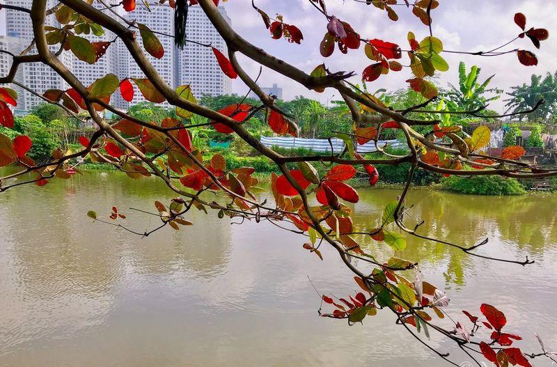 Lá đỏ Water