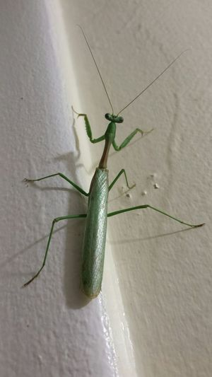 He's hanging out in the bathroom 😜 Praying Mantis