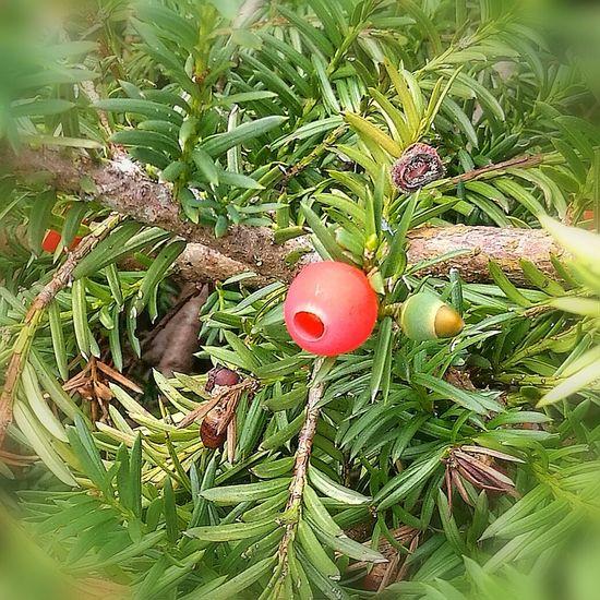 Taxus Eibenstock Berry Close-up Green Color
